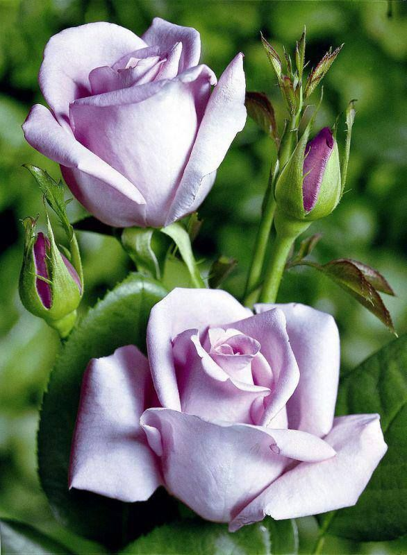 Beautiful Pale Lavender Rose.XX                                                                                                                                                                                 More