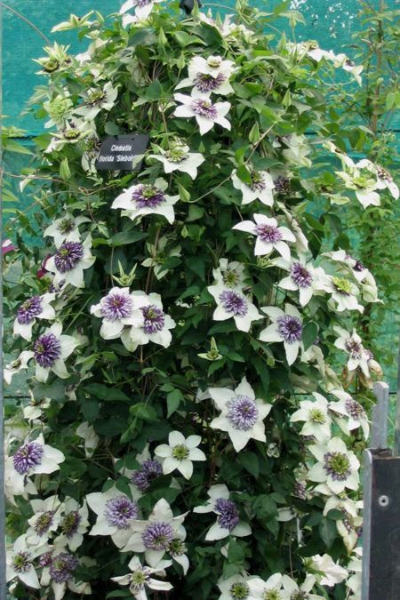 Clematis Florida sieboldii or sieboldiana or bicolor is the sister plant to the Florida Plena or alba plena Florida Sieboldii has a huge flowering period June to October inc. at least 5 months of flower every year. The Florida Sieboldii enjoys a sunny spot in the garden which is sheltered for best results. - florida Sieboldii