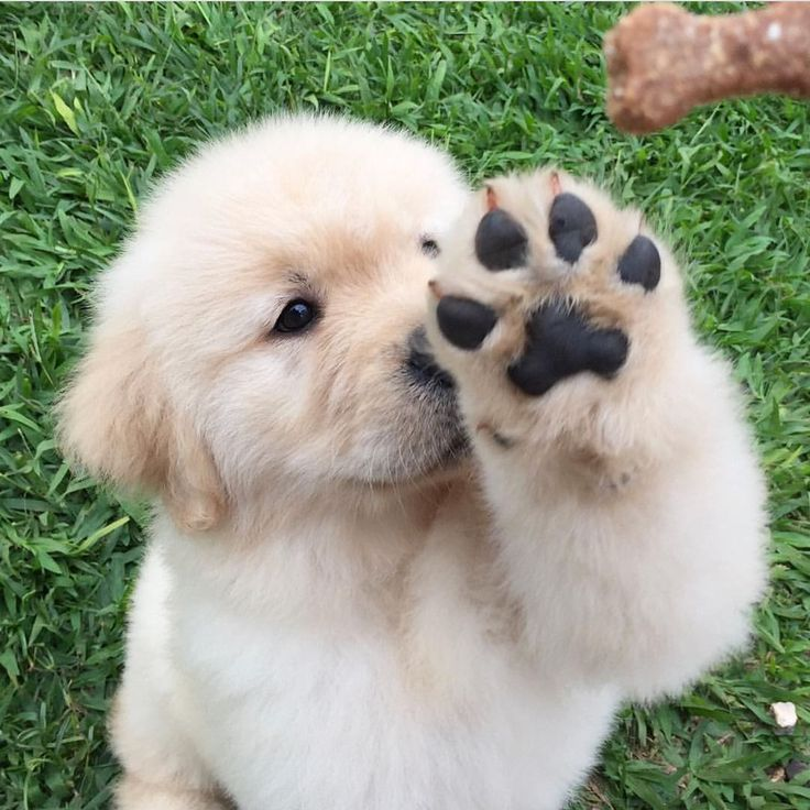 """9,892 Likes, 133 Comments - Oshie Golden Bear (@oshiegoldenbear) on Instagram: """"Some puppos waving hello to the weekend  Use #OshiebearAffair to be featured! PS: name the last…"""""""