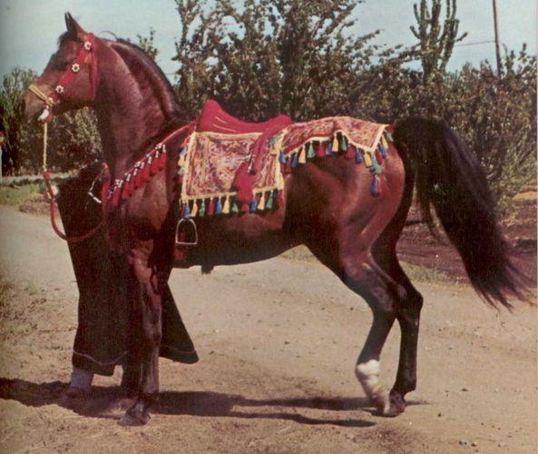 Fadjur- prominent Arabian horse sire