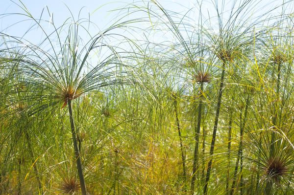 Low angle view of dense grass fronds growing wild in a meadow - By stockarch.com user: stockmedia.cc