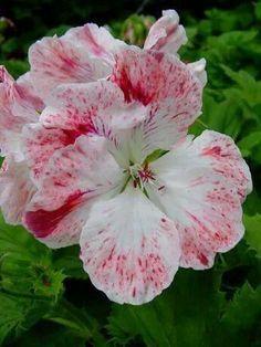 """Beautiful Pelargonium flower                 """" Mohawk"""""""