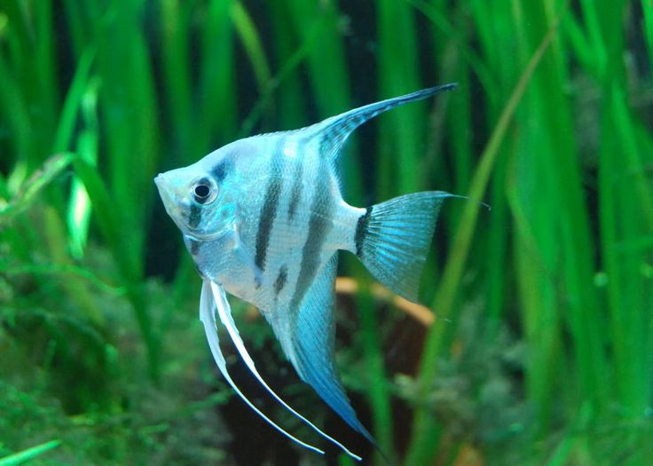freshwater angelfish - More Pins Like This At FOSTERGINGER ...