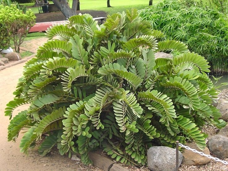Cycad, Cardboard Palm (Zamia furfuracea) (Tolerates Phoenix heat/freeze in shade..looked dead for 3 mos after freeze, then recovered. CAUTION: seeds/plants poisonous if ingested, read main page on Davesgarden for this plant about Cycad Toxicity/Poisoning for veterinary care for poisoned animals!!!