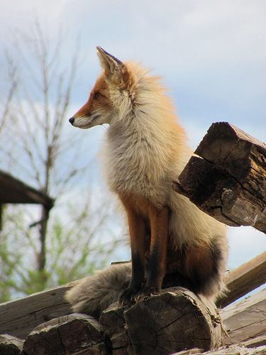 Bagdatiev Alexander - «Fox» sur YandexWild, Beautiful Animal, Nature, Foxes Hunting, Bagdatiev Alexander, Creatures, Foxy Loxie2, Wolves, Red Foxes