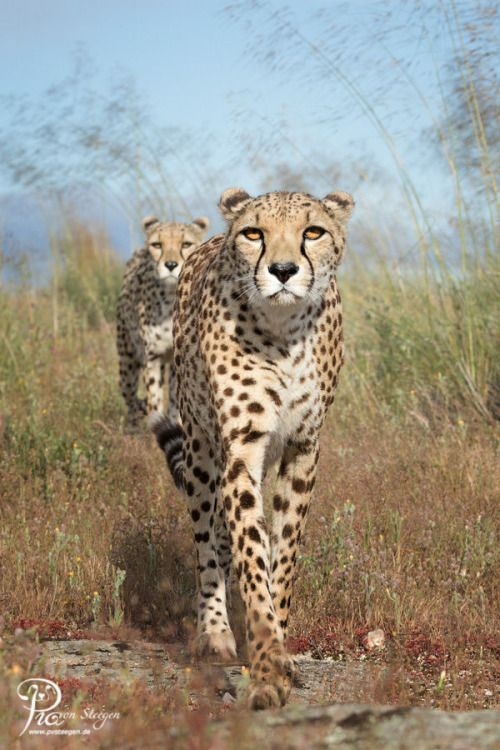 "beautiful-wildlife: ""Cheetah walk by Pia von Steegen """