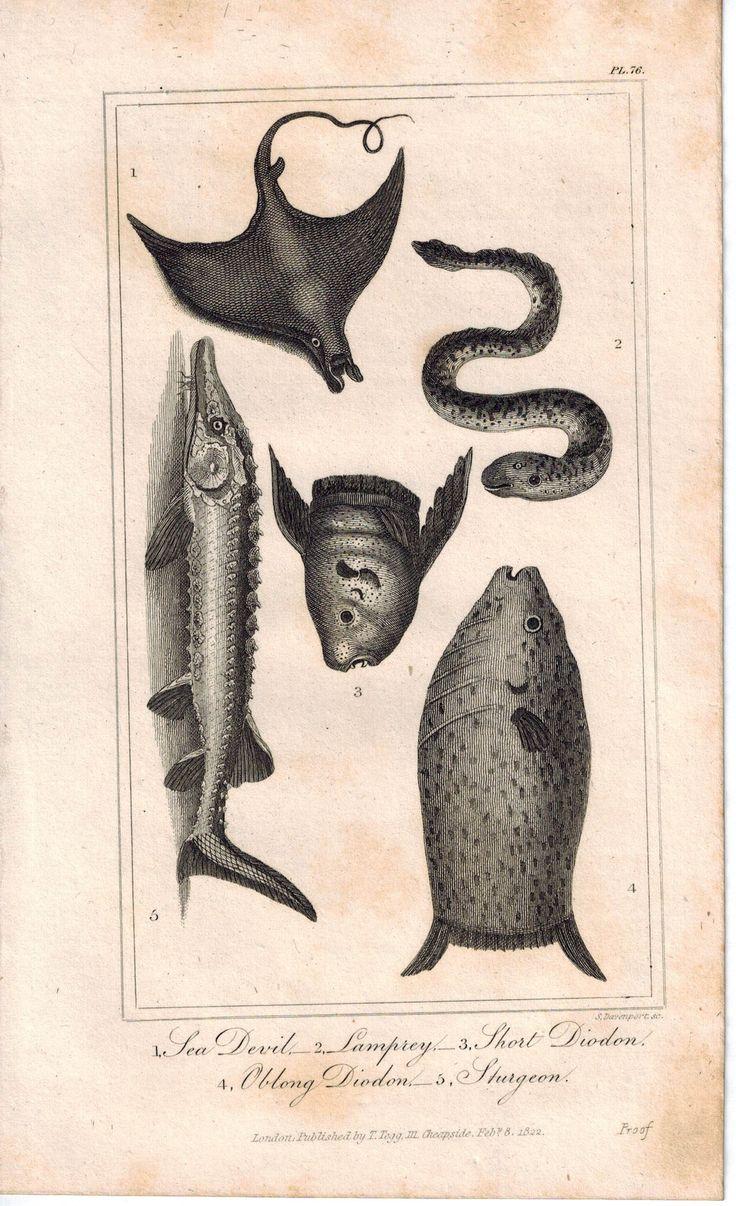 Sea Devil, Lamprey, Short Diodon, Sturgeon Fish 1821 Antique Engraved Print