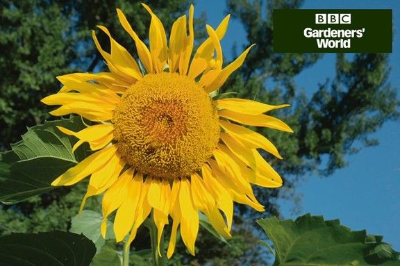Monty Don S Giant Sunflower Trial Part One Giant Sunflower Sunflower Monty Don