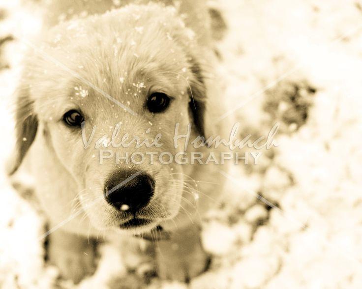 Golden Retriever Puppy's first snow!