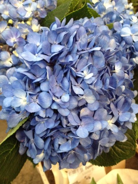 Hydrangea in mid Blue. Sold in bunches of 10 stems from the Flowermonger the wholesale floral home delivery service.