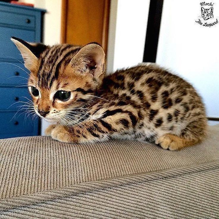meet baby jaguar – Album on Imgur #cutekittens #kittens #catsandkittens kittens … – #album #on