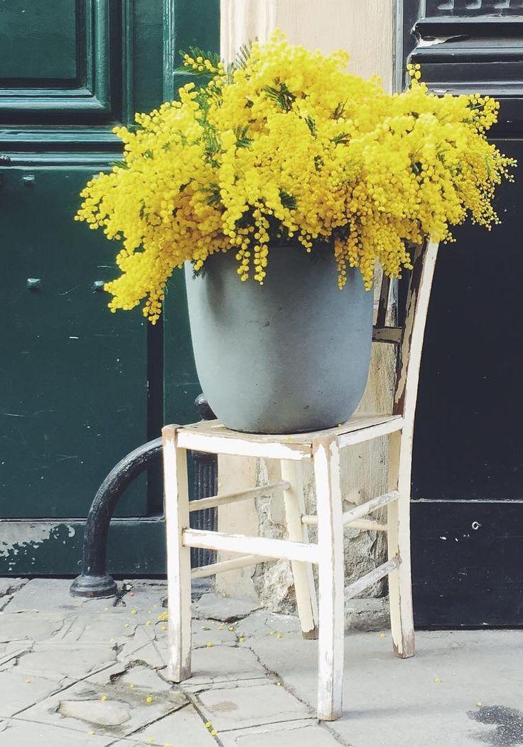 Bucket of Golden Wattle on the street in Paris