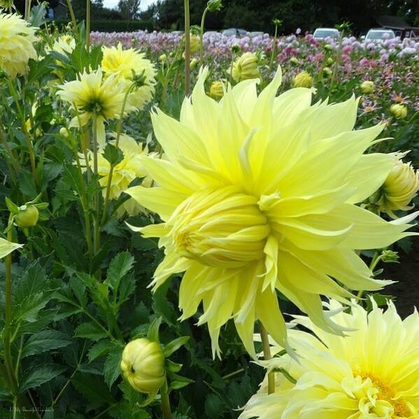 Yıldız Çiçeği-Dahlia ❤️