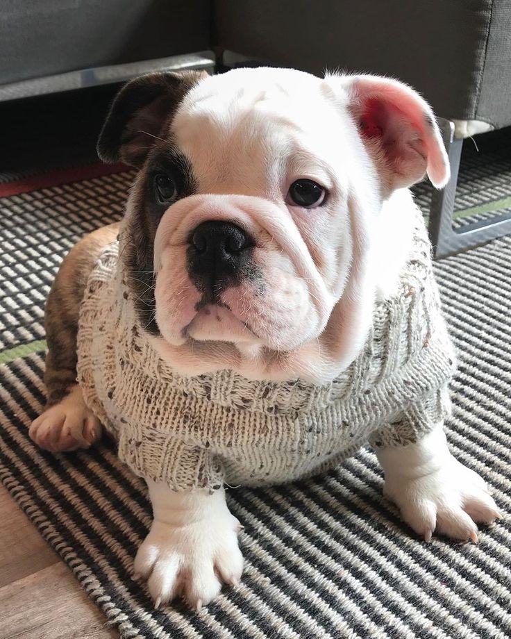Chunky Bulldog In 2020 Dog Flea Remedies Bulldog Bulldog Puppies