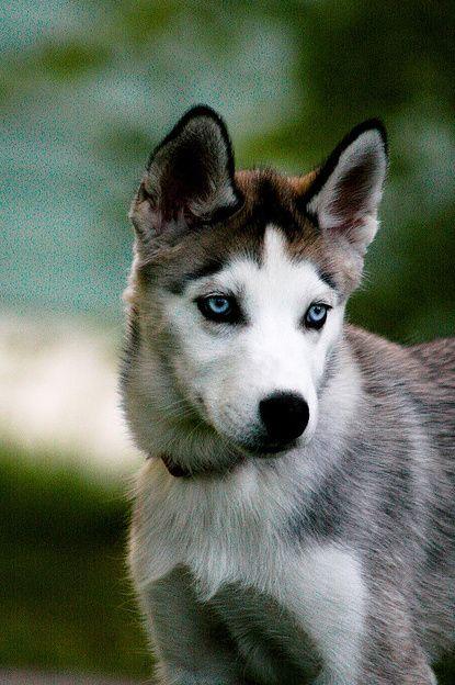 Wolf Dogs, Pretty Eye, Beautiful Animal, Siberian Husky, Blue Eye, Baby Dogs, Husky Dogs, Beautiful Dogs, Crazy Eye
