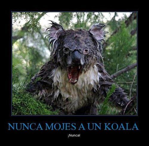 Nunca mojes a un koala  Fotos graciosas de animales