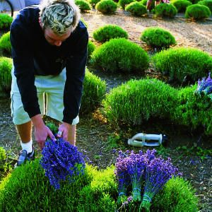 HOW TO; GROWING LAVENDER; Grow it like a pro with these tips!!
