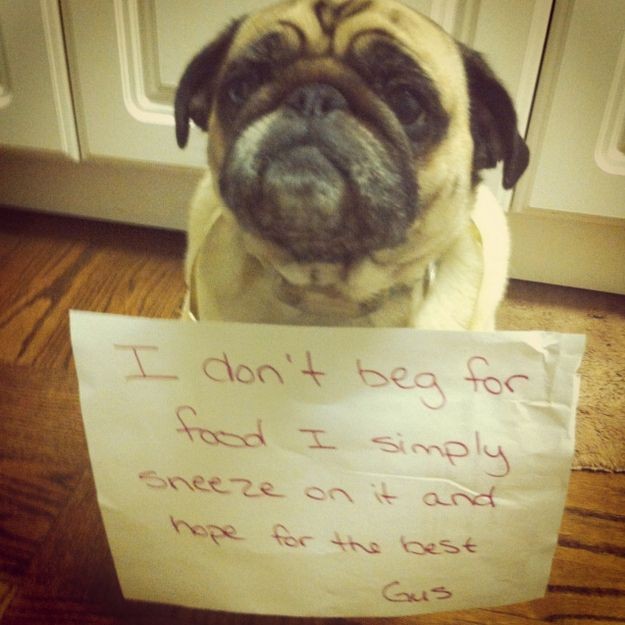 Just good tactics. | 23 Photos That Prove Pug Shaming Is The Best Kind Of Dog Shaming