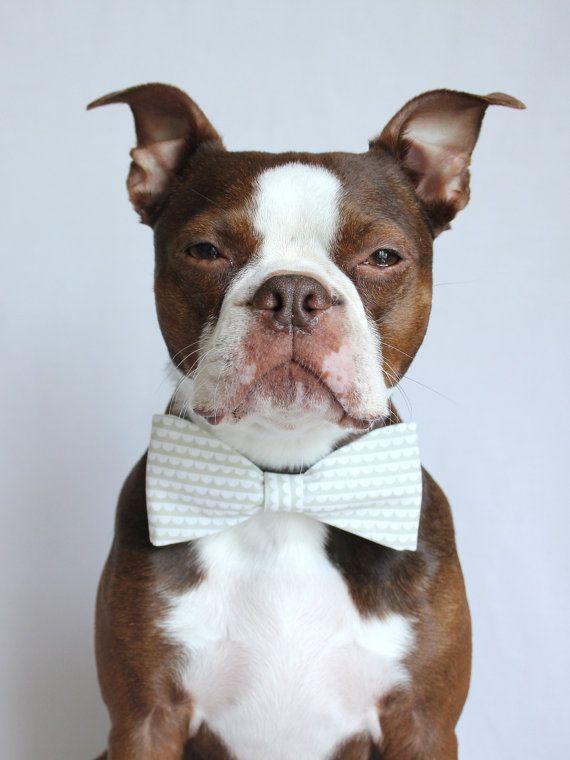 SO fancy! #bostonterrierDogs Bowties, Scallops Stripes, Stripes Dogs, Bow Ties, Dogs Bows Ties Wedding, Pets, Red Boston Terriers, White Scallops, Animal