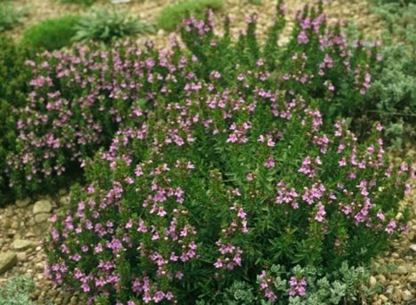 Winter savory is your savior against insect bites and stings. One of the most effective natural plant treatments for bug bites is originally from Europe and the Mediterranean but often shows up elsewhere thanks to global trade. In addition to being an antiseptic, it is delicious – used for flavoring meats and stews – and all parts are edible