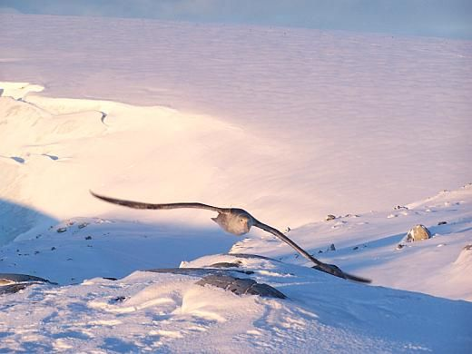 Pictured at left is a giant petrel in flight near Palmer Station, Anvers Island, Antarctica. Giant petrels are scavengers that feed on carrion, but also fish for krill and squid. Their wingspan can reach 205 cm (81 inches). Visit Website > Image credit: Henry Malmgren, National Science Foundation