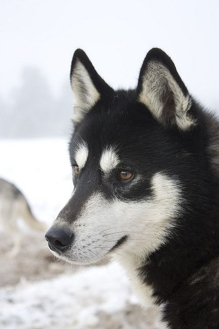 Siberian Husky. I love seeing the different colorations of the Husky.