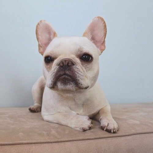 Good Morning America French Bulldog : Images about french bulldogs on pinterest
