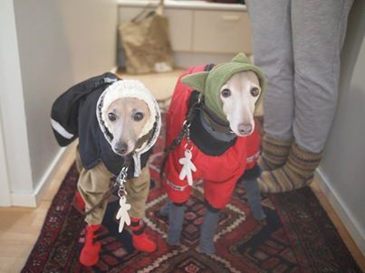 Two adorable Italian greyhounds getting ready to head outdoors in Finland - Imgur