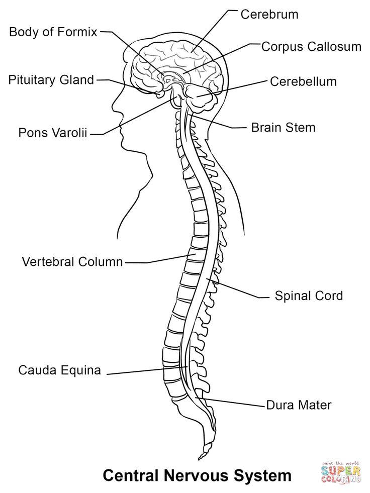 Central Nervous System Coloring Page Nervous system
