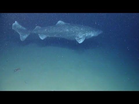 Greenland Shark – world's longest-lived vertebrate known (Somniosus micr...