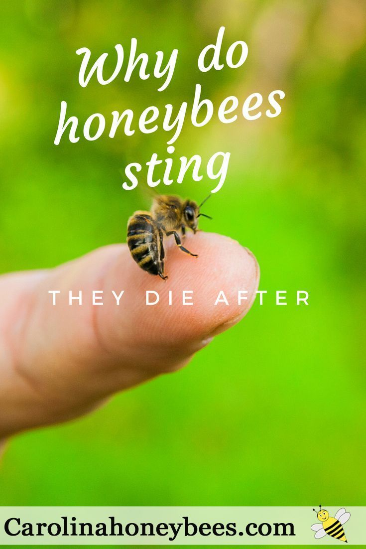 Why do bees sting?  What to do if you are stung by a bee! Do honey bees die when they sting you?  Take a look inside the world of the honey bee.  Carolina Honeybees