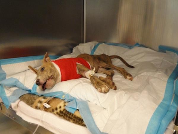 [VIDEO] USA: Joey, cucciolo di pitbull torturato e gettato da un'auto in corsa | All-4Animals