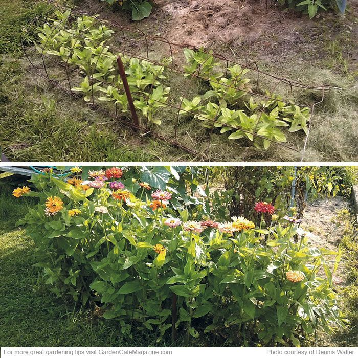Turn a tomato cage on its side. After sowing seeds of taller annuals, such as cosmos (Cosmos spp. and hybrids) and zinnias (Zinnia elegans), lay the cage on its side over the seeds.