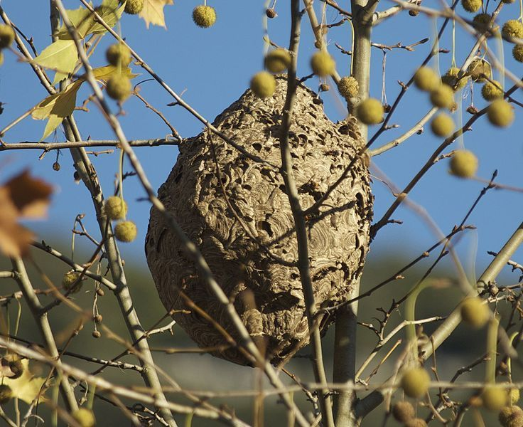 Un nid de frelon asiatique. © Wikimedia Commons