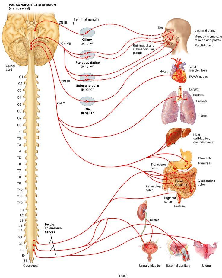 27 best Pelvic Anatomy images on Pinterest | Anatomy, Anatomy ...
