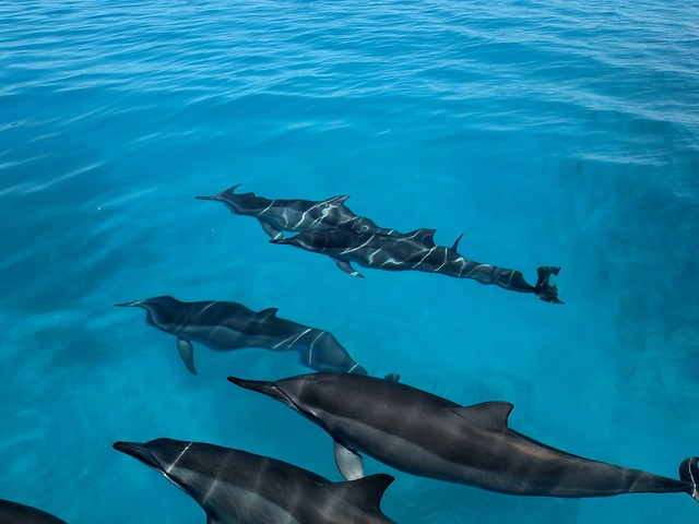 Dolphins at Midway Atoll. http://www.oceanicsociety.org/trip/natural%20history/midway-atoll