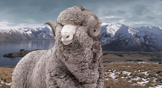 Here are the reasons to buy Merino Wool @ http://goo.gl/KNQFYy  #HalcyonDreams #WoolProducts #merino