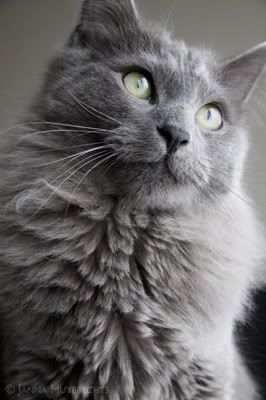 Nebelung Kitty :) looks just like my Cosmo Kitty