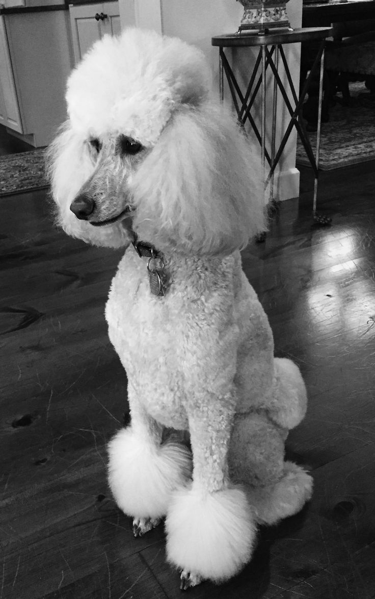 Standard poodle haircuts or of unless soft haircuts standard poodle - Coco Baby French Poodlesstandard Poodlespoodle Groominganthony