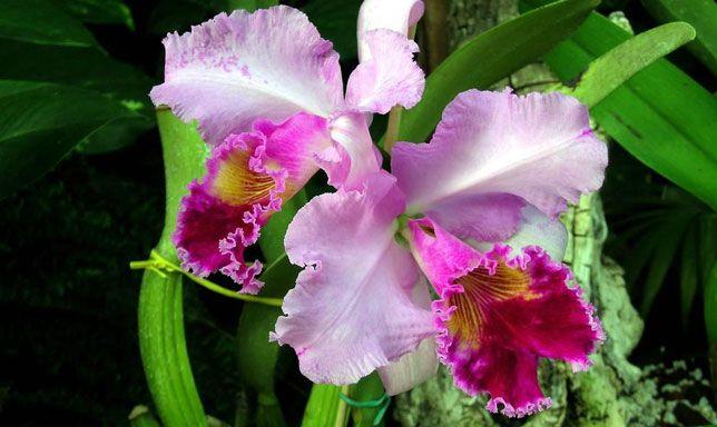 La Orquídea: Flor Nacional de Venezuela