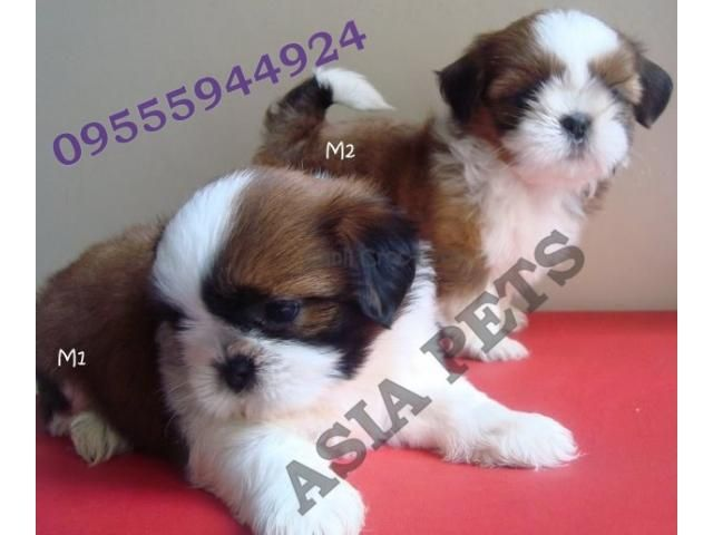 Shih Tzu Puppy Price In Nagpur Shih Tzu Puppy For Sale In Nagpur