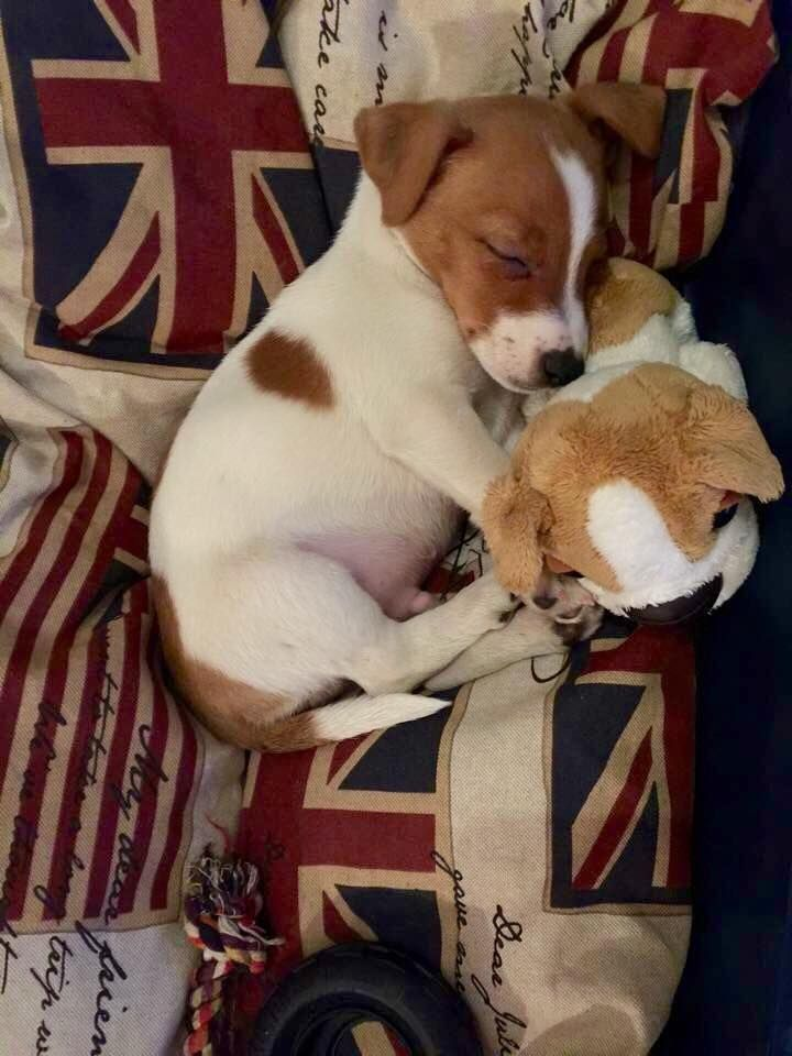 Adorable Little Baby Jack Russell Terrier Puppy with his Doggy Friend - I want him very much!!!