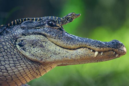 baby crocodile and parent wallpaper |