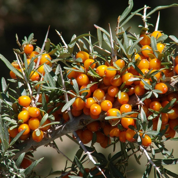 Hippophae rhamnoides - Sea Buckthorn. The bright orange berries are edible and contain very high levels of vitamin C making the fruit extremely acidic. They're best eaten after a frost when they've been bletted (over-ripened) as it reduces the astringency.