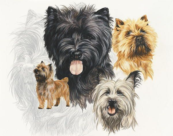 Cairn Terriers
