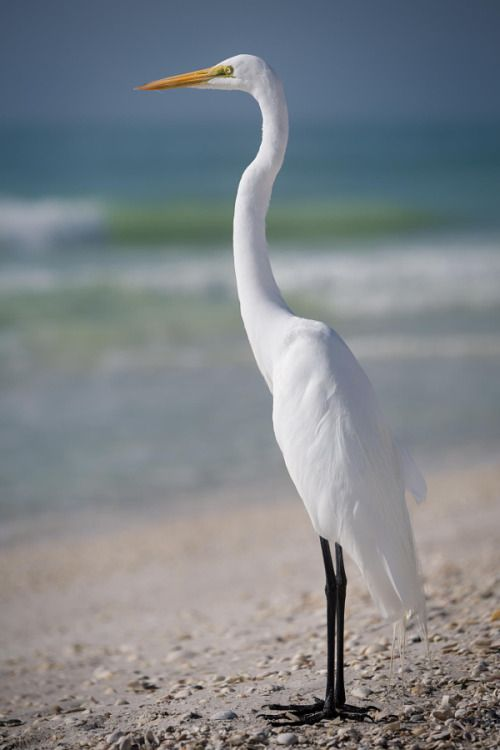 outdoormagic:  Great Egret by Krzysztof Hanusiak