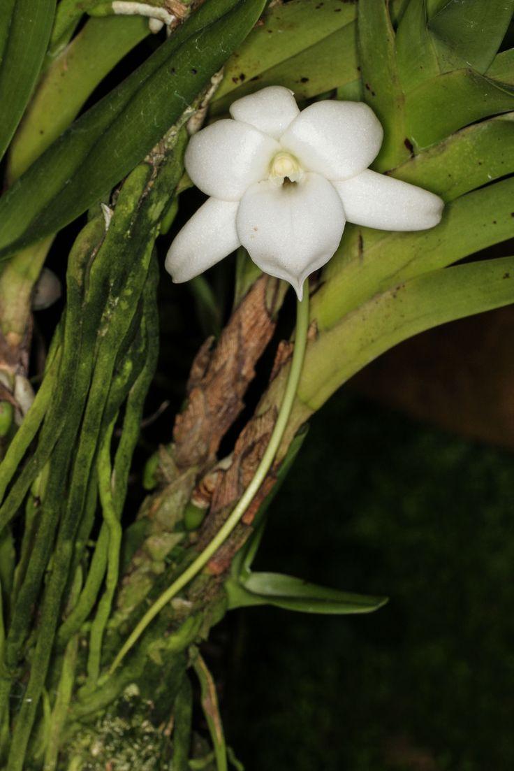 Flowers unique flowers beautiful flowers orchid cactus cactus flower - Angraecum Sorrorium 1 Jpg Rare Flowersunusual Flowersgreen Orchid Wisdomorchidaceaenicecactusartgardening