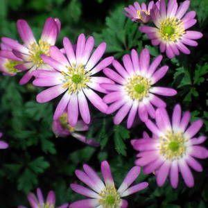 anemone blanda charmer ou anémone de grèce rose godet 8cm - JARDIPLANTE