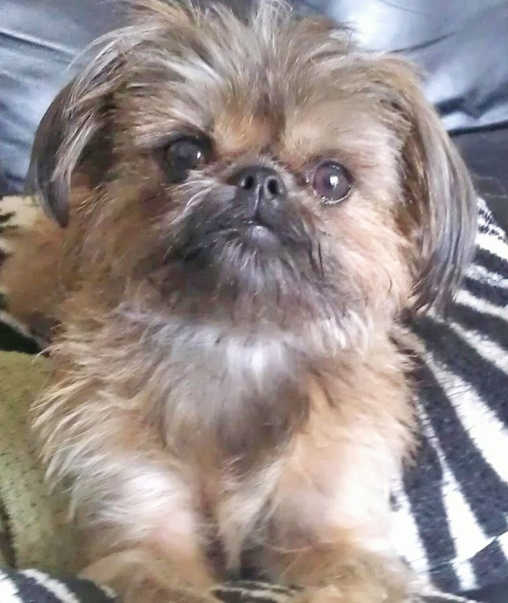 A nice portrait of Peanut, my Brussels Griffon/Shih Tzu, posing for the camera What a cutie!