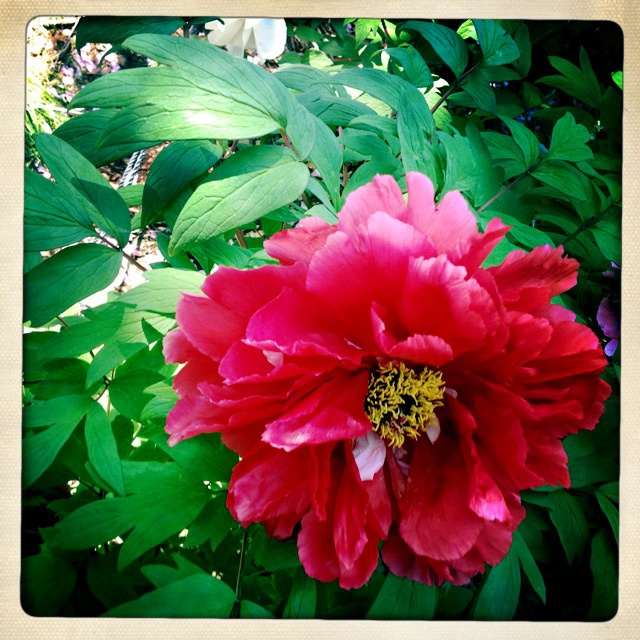 Peony at Brooklyn Botanical Garden  By SherryJBrown.com